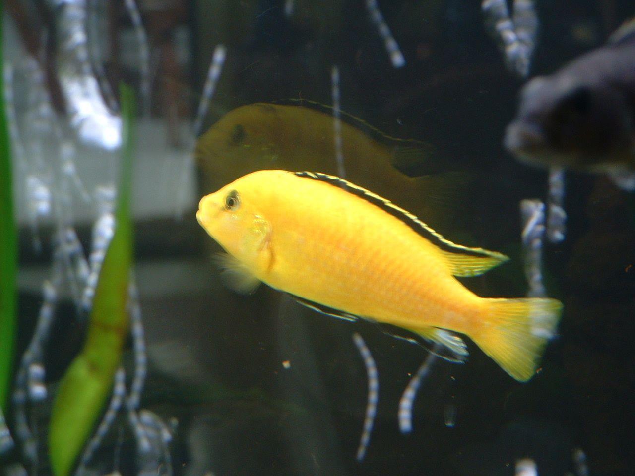 Très Retrouver en photo mes aquarium de cichlidés du lac malawi. - Blog  ZR45